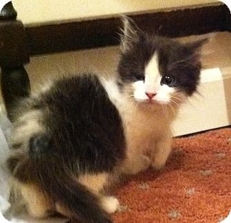 Domestic Mediumhair Kitten for adoption in Harriman, NY, New York - Louie