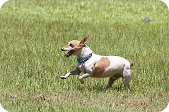 Jack Russell Terrier Dog for adoption in Conyers, Georgia - Frazier