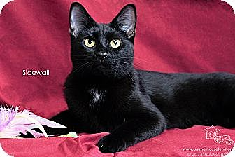 Domestic Shorthair Cat for adoption in St Louis, Missouri - Sidewall