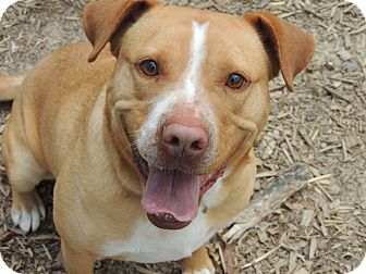 American Bulldog/Pit Bull Terrier Mix Dog for adoption in Syracuse, New York - Sparky URGENT  REDUCED
