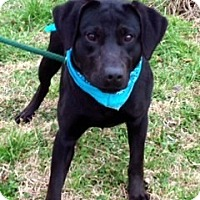 Adopt A Pet :: ANGELINA/Gorgeous in Black - Glastonbury, CT