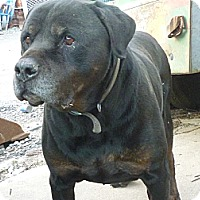 Rottweiler/Cane Corso Mix Dog for adoption in Brooklyn, New York - BLUE needs an indoor home