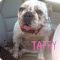 Adopt A Pet :: Taffy - Chicago, IL