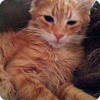 Adopt A Pet :: Kip - Bentonville, AR