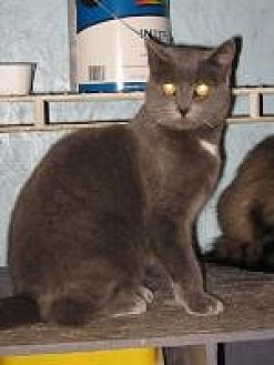 Domestic Shorthair Cat for adoption in Brainardsville, New York - Lexie