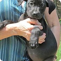 Adopt A Pet :: Odetta - Williston Park, NY