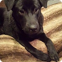 Adopt A Pet :: Cricket - Westminster, MD