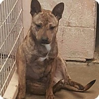 Dutch Shepherd/Shepherd (Unknown Type) Mix Dog for adoption in Odessa, Texas - Van Halen