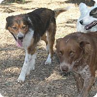 Adopt A Pet :: Dash - Paso Robles, CA