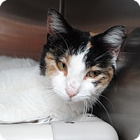 Adopt A Pet :: Callie Girl - Elyria, OH