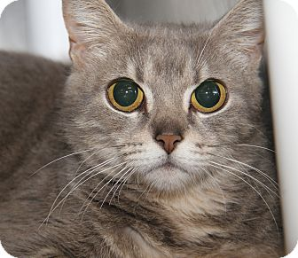 Domestic Shorthair Cat for adoption in Marietta, Ohio - Bright Eyes (Spayed)