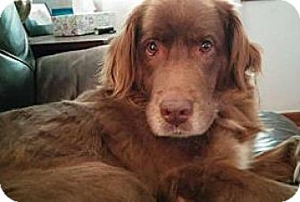 Retriever (Unknown Type) Mix Dog for adoption in Alpharetta, Georgia - Trolla