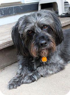 Scottie, Scottish Terrier/Schnauzer (Miniature) Mix Dog for adoption in Wichita, Kansas - Toby