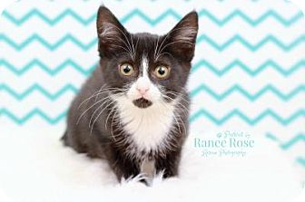 Domestic Shorthair Kitten for adoption in Sterling Heights, Michigan - Bowie