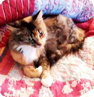 Domestic Mediumhair Cat for adoption in York, Pennsylvania - Samara