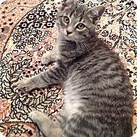 Domestic Shorthair Kitten for adoption in Philadelphia, Pennsylvania - MARCUS- Millennial Kitten