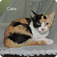 Domestic Shorthair Kitten for adoption in Slidell, Louisiana - Cake