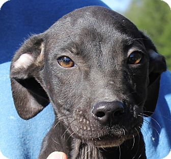 Pit Bull Terrier Puppy for adoption in Colonial Heights, Virginia - Amico
