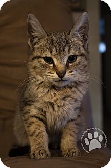 Domestic Shorthair Kitten for adoption in Huntington, West Virginia - Mary B