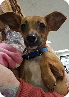 Chihuahua Mix Puppy for adoption in Hamilton, Ontario - Gypsy Jane