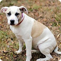 American Bulldog Mix Puppy for adoption in richmond, Virginia - PUPPY MAYBELLINE