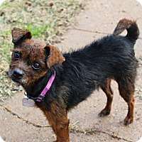 Yorkie, Yorkshire Terrier/Chihuahua Mix Dog for adoption in Shreveport, Louisiana - Lucy