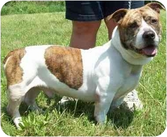 bulldog basset hound mix jazz adopted dog 6 18 2 north judson in american 6535