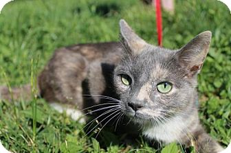 Calico Cat for adoption in Dublin, Virginia - Freya