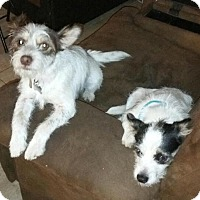 Adopt A Pet :: Teddy and Jack - Oceanside, CA