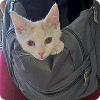 Adopt A Pet :: Ringo - Island Park, NY