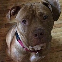 American Pit Bull Terrier Dog for adoption in Fredericksburg, Virginia - Prince- Courtesy Listing
