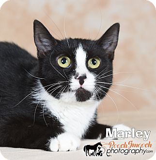 Domestic Shorthair Cat for adoption in Broadway, New Jersey - Marley