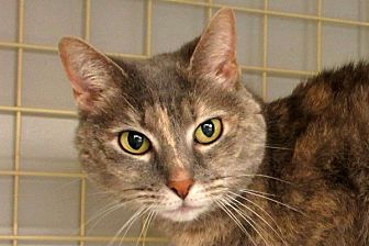 Domestic Shorthair Cat for adoption in Durham, North Carolina - Misty