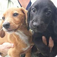 Adopt A Pet :: Puppies - Chiweenies - Pembroke, GA