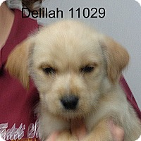Adopt A Pet :: Delilah - baltimore, MD