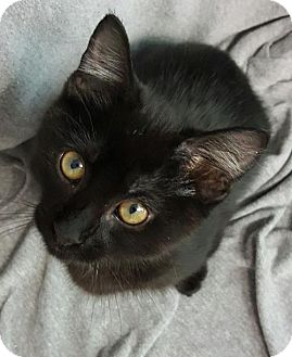 Domestic Shorthair Kitten for adoption in Champaign, Illinois - Brownie