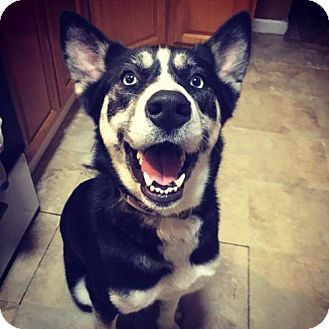 Siberian Husky/Shepherd (Unknown Type) Mix Dog for adoption in Matawan, New Jersey - Chrissy