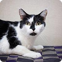Domestic Shorthair Cat for adoption in Sterling, Kansas - Kitty Marie
