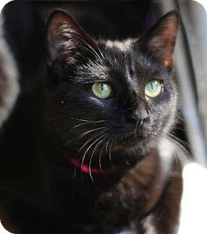 Domestic Shorthair Kitten for adoption in Raleigh, North Carolina - Mariska D