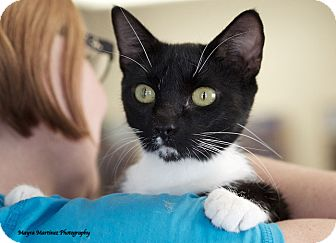 Domestic Shorthair Cat for adoption in Nashville, Tennessee - Boots