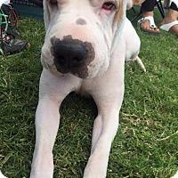 Adopt A Pet :: Luca - Las Vegas, NV