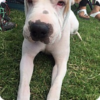 Shar Pei/American Bulldog Mix Dog for adoption in Las Vegas, Nevada - Luca