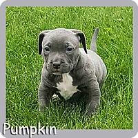 Adopt A Pet :: Pumpkin - South Bend, IN
