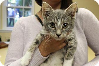 Domestic Mediumhair Kitten for adoption in Washington, D.C. - Doug (Has Application)