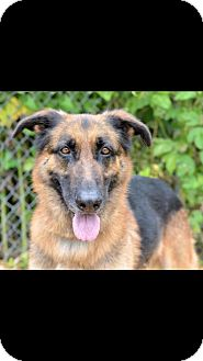 German Shepherd Dog Dog for adoption in Waco, Texas - Laurence