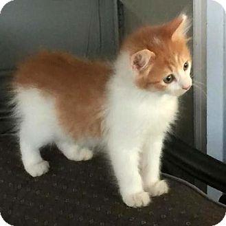 Domestic Mediumhair Kitten for adoption in Arlington, Virginia - Finn
