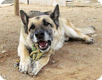 German Shepherd Dog Dog for adoption in San Tan Valley, Arizona - Jimmy