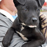 Terrier (Unknown Type, Small)/Rat Terrier Mix Puppy for adoption in Madison, Alabama - Scooter