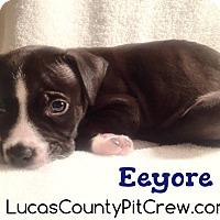 Adopt A Pet :: Eeyore - Toledo, OH