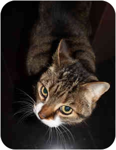 Domestic Shorthair Cat for adoption in Etobicoke, Ontario - Bizo